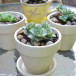 How To: Succulents In Chalk Paint Pots